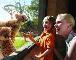 Cheetah Hunt viewing at Busch Gardens