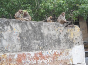Monkeys waiting for breakfast at Hanuman Temple, Connaught Place