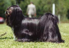 Lhasa Apso index