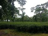 Goodriche Tea Garden at Bagrakote