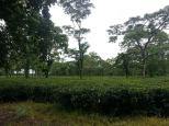 Goodriche Tea Garden at Bagrakote