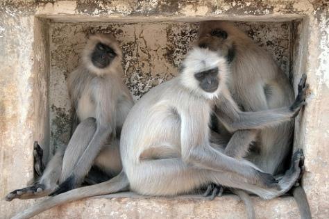 Langoor-monkey-Hanuman-Dhara-Chitrakoot
