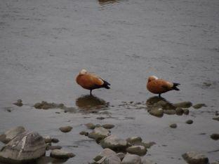 Australian Migratory Birds